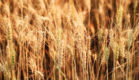 Fields of wheat Royalty Free Stock Photo