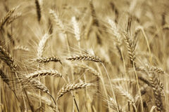Fields of wheat Royalty Free Stock Images