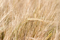 Fields of wheat Stock Images