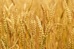 Fields of wheat stock photography