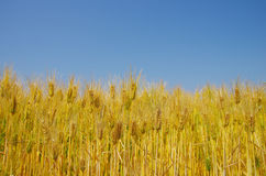 Fields of wheat against the blue sky Stock Photography