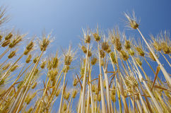 Fields of wheat against the blue sky. Closeup of the fields of wheat Royalty Free Stock Photos