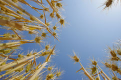 Fields of wheat against the blue sky Stock Photo