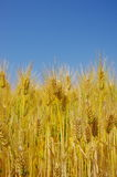 Fields of wheat against the blue sky. Closeup of the fields of wheat Stock Photography