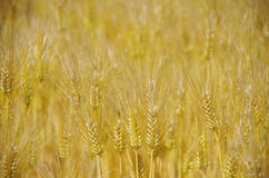 Fields of wheat Stock Photos