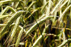 Fields of wheat ears Royalty Free Stock Photo