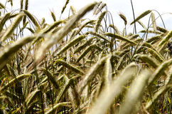 Fields of wheat ears Stock Photo