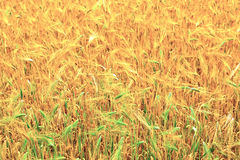 Fields of wheat at the end of summer Stock Photography