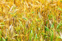 Fields of wheat at the end of summer Royalty Free Stock Photos
