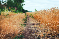 Fields of wheat at the end of summer fully ripe Royalty Free Stock Photos