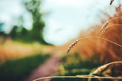 Fields of wheat at the end of summer fully ripe Royalty Free Stock Photography