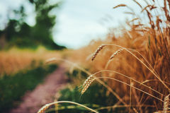 Fields of wheat at the end of summer fully ripe Stock Image