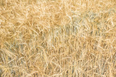 Fields of wheat at the end of summer fully ripe. Toned Royalty Free Stock Photos