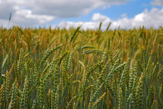 Fields of wheat grain Stock Photos