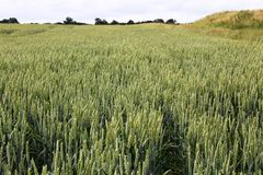 Fields of wheat Stock Image