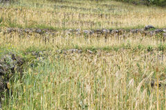 Fields of wheat in Nepal Royalty Free Stock Photos