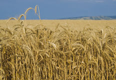 Fields of Wheat, Palouse, Washington. Closeup view of wheat in the fields within an area of Washington called  the Palouse, a rich scenic agricultural area known Stock Image
