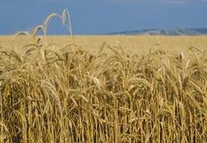 Fields of Wheat, Palouse, Washington stock image