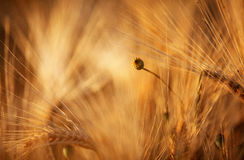 Fields of Wheat in Summer Royalty Free Stock Photos