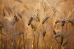 Fields of Wheat in Summer Stock Image