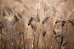Fields of Wheat in Summer Royalty Free Stock Image