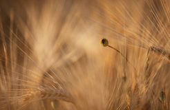 Fields of Wheat in Summer Royalty Free Stock Photo