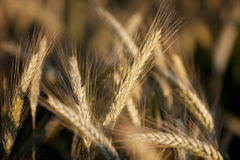 Fields of Wheat in Summer Royalty Free Stock Photography