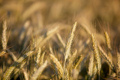 Fields of Wheat in Summer Royalty Free Stock Images