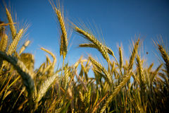 Fields of Wheat in Summer Stock Photos