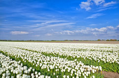Fields with white tulips, Alkmaar Royalty Free Stock Photo