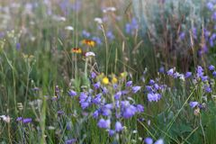 Fields of Wild Flowers Royalty Free Stock Photography