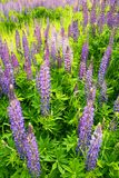 Fields of wild lupine. Beautiful purple flowers in fresh summer Stock Images