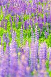 Fields of wild lupine. Beautiful purple flowers in fresh summer green Stock Photo