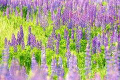 Fields of wild lupine. Beautiful purple flowers in fresh summer greens Stock Photo