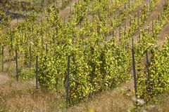 Fields of wine grapes in rows. Vineyards in Spain royalty free stock image