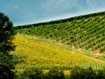 Fields with wine an sunflowers in Tuscany Stock Image