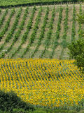 Fields with wine an sunflowers in Tuscany Royalty Free Stock Image