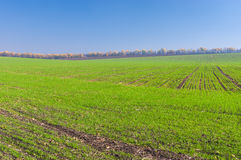 Fields with winter crops Royalty Free Stock Photography