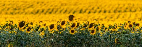 Free Fields With An Infinite Sunflower. Agricultural Field Stock Photography - 154256252