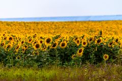 Free Fields With An Infinite Sunflower. Agricultural Field Stock Image - 154256261