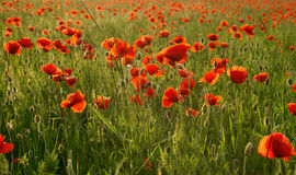 Fields of wonderful red poppies Stock Photos