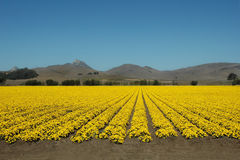 Fields of Yellow. A field of yellow flowers under a deep blue California sky Stock Image