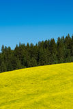 Fields of yellow canola flowers in Eastern Washington state. Fields of canola flowers in Palouse region of Washington state Royalty Free Stock Image