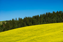 Fields of yellow canola flowers in Eastern Washington state. Fields of canola flowers in Palouse region of Washington state Royalty Free Stock Photo