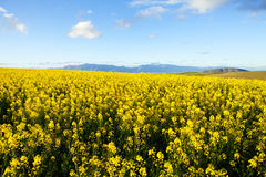 Fields of yellow canola flowers Stock Image