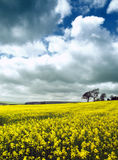 Fields of yellow Royalty Free Stock Photo