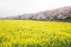 Fields of yellow flowering nanohana with pink cherry blossoms behind:Gongendo Park in Satte,Saitama,Japan Royalty Free Stock Photography