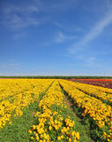 The fields with yellow flowers Stock Photo