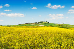 Fields of yellow flowers and blue sky Royalty Free Stock Image