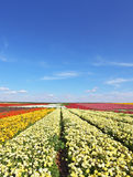The fields with yellow flowers Ranunculus Royalty Free Stock Images
